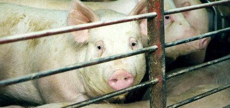 farm-pigs1