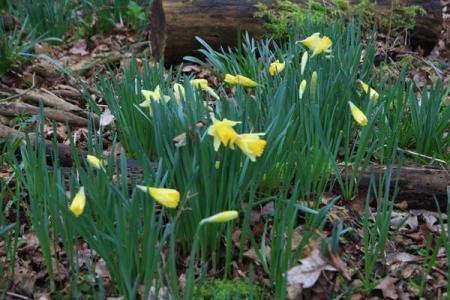 wild-daffodils1